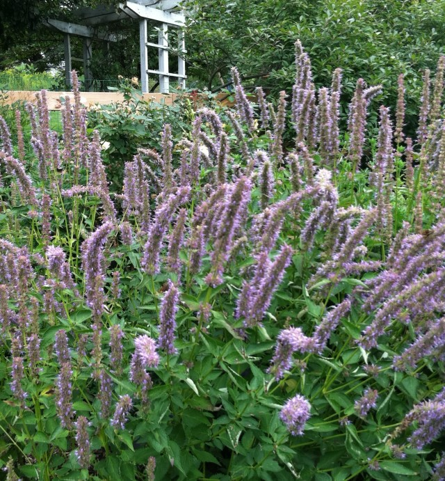 Agastache or Anise Hyssop