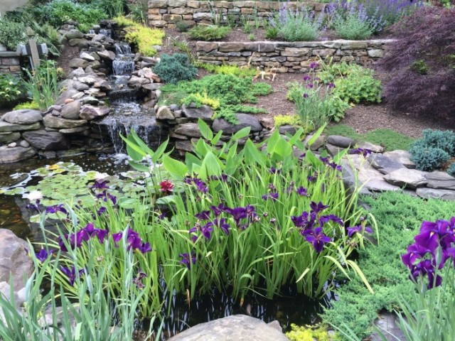 Iris blooming in the pond