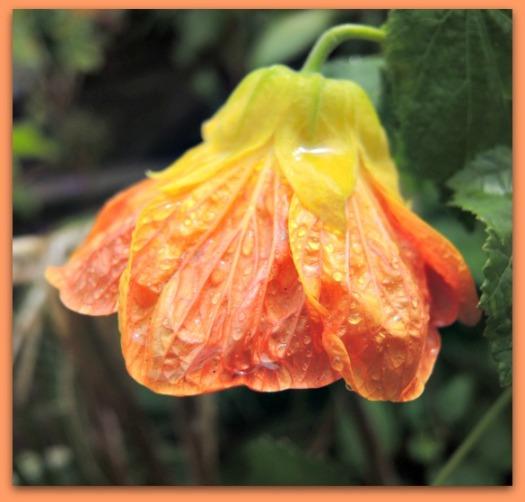 Orange Abutilon