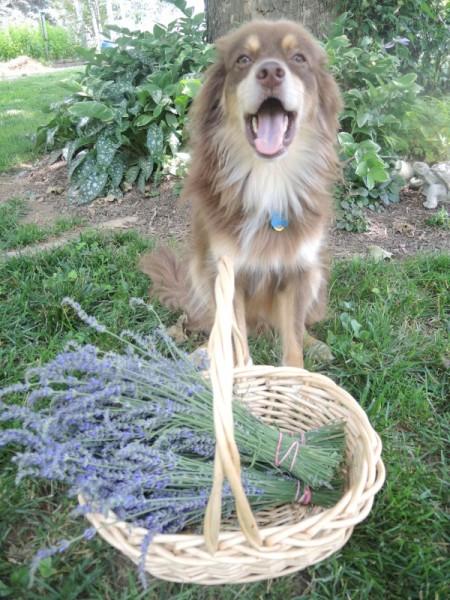 Happy to pick lavender
