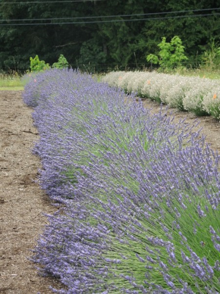 White and purple lavender side by side