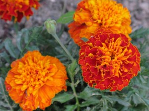 Lutein is found in Marigolds