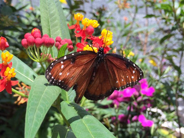 Tropical milkweed provides habitat for all kinds of butterflies and other insects