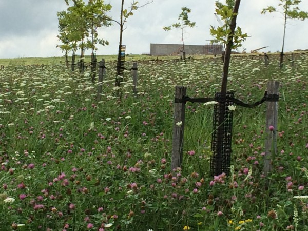 Newly planted memorial trees