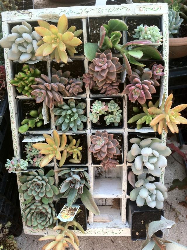 Succulent varieties in small pots