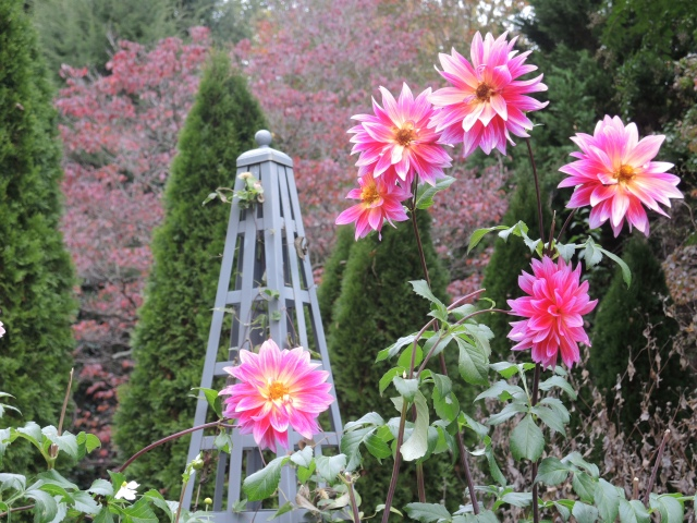 Dahlias pop up tall in the fall garden backed up by the fall color of dogwoods