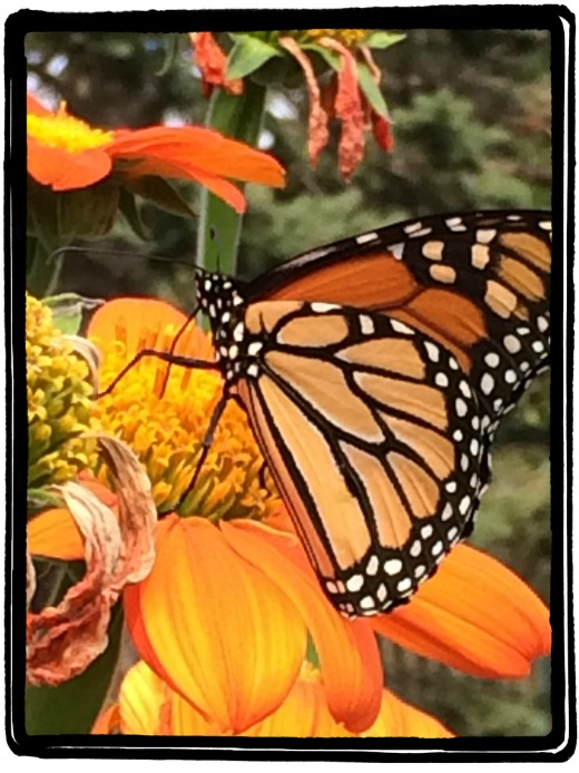 Monarch on Zinnia