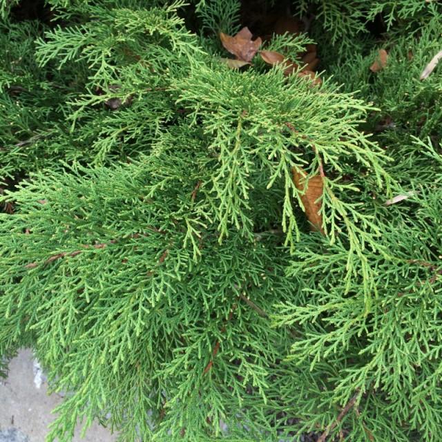Serbian Cypress