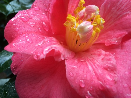 Camellias were in full bloom in Seattle