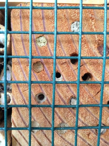 Mature mason bees break through the mud wall