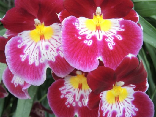 Miltonias are my favorites-They look like orchid pansies