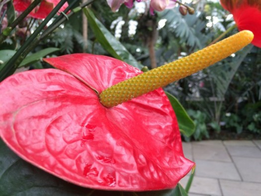 Yes, Anthuriums!!