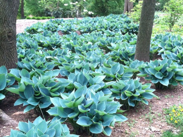 A simple ground cover of hostas can be very effective-Blue Cadet