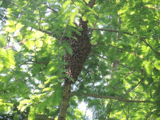 Swarm high up in a tree