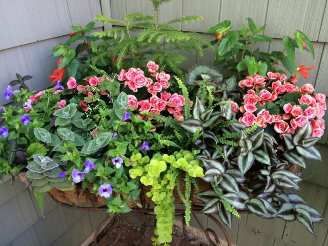 Colorful shade container with tuberious begonias