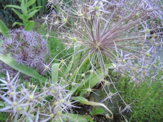 Allium Schubertii