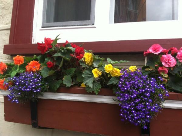 Purple Lobelia with Begonias for shade windowbox