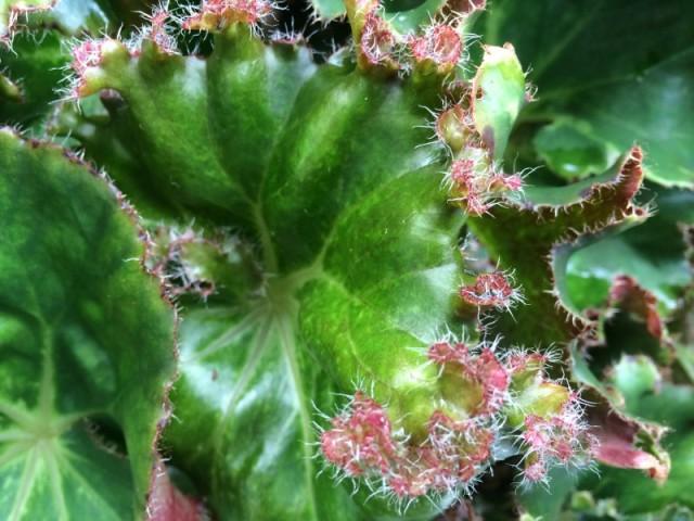 Fancy leaved begonia