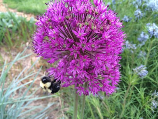 Bees love alliums