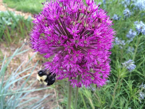 Bees love alliums