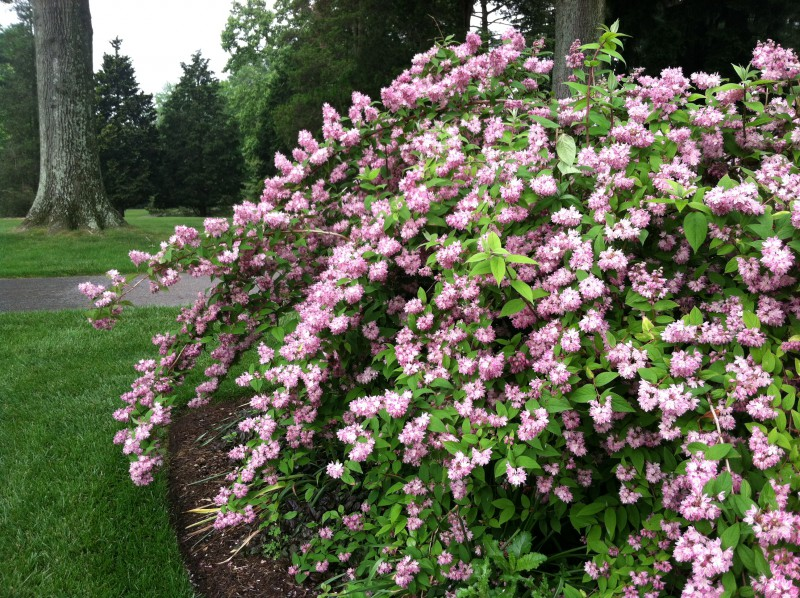 Old Fashioned Pi Nk Flowering Shrubs
