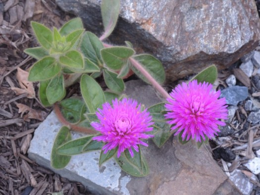 Pink Zazzle Gomphrena likes hot dry situations