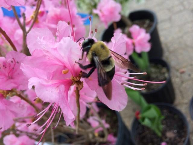 Bee on Azalea shrub