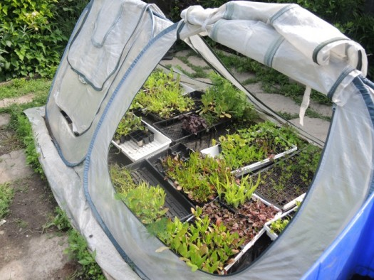 Small portable greenhouses get her seedlings a head start