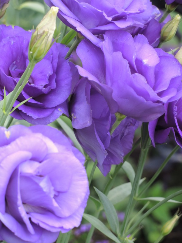 Lisianthus comes in pink, white, and purple, and bi-colors