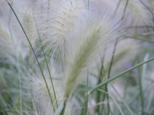 Pennisetum 'Feathertop'