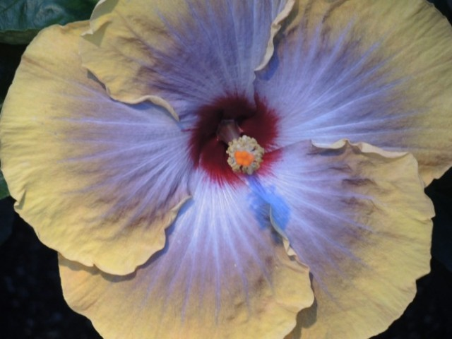 Fifth Dimension Hibiscus has a beautiful silvery plum center
