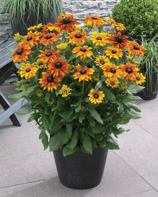 Echibeckia Summerina Yellow