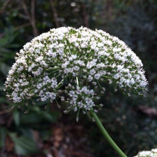 Dome shaped flower of Ammi majus