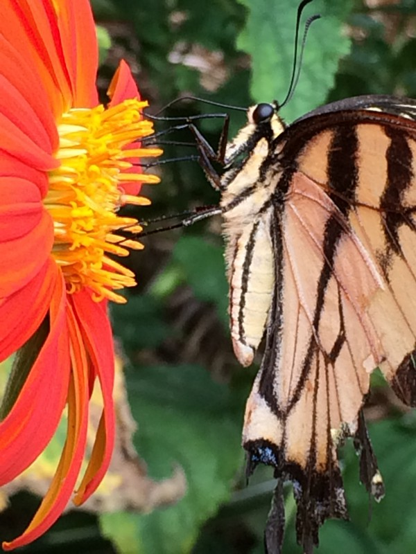 Swallowtail on Mexican sunflower