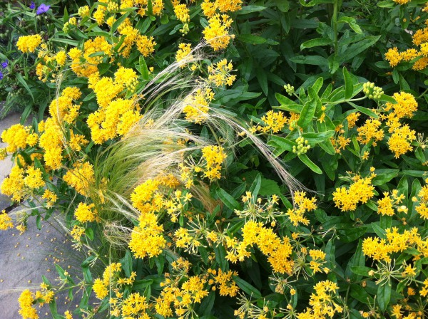 "Yellow butterfly Weed ""Hello Yellow"""