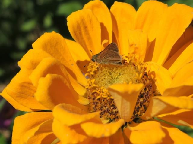 Quick, darting little skipper butterfly on Zinnia