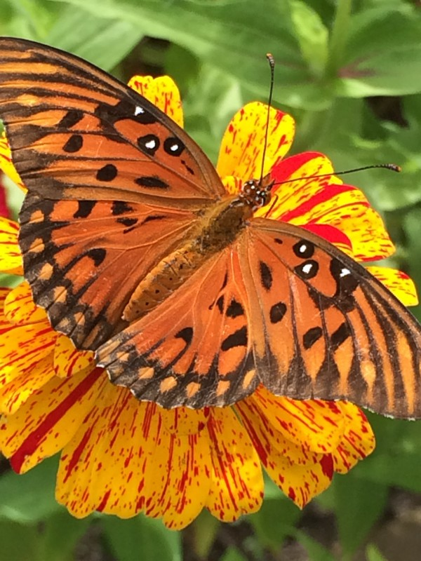 Gulf Fritillary on Zinnia