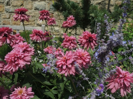 Echinacea 'Pink Poodle' planted with lavender Russian Sage