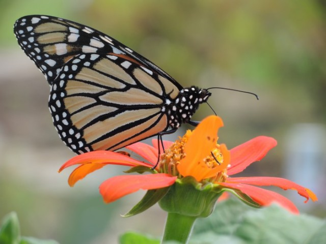 The brightly colored Monarch is toxic to predators because of  a chemical that it ingests from eating milkweed