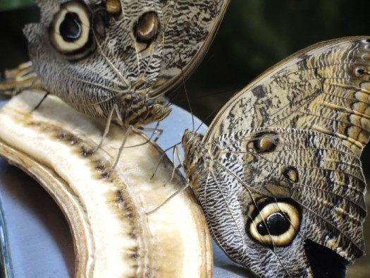 Owl Butterfly feeding on fruit