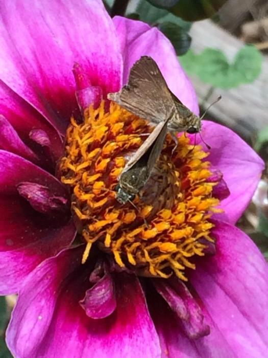 Skipper butterflies on Dahlia
