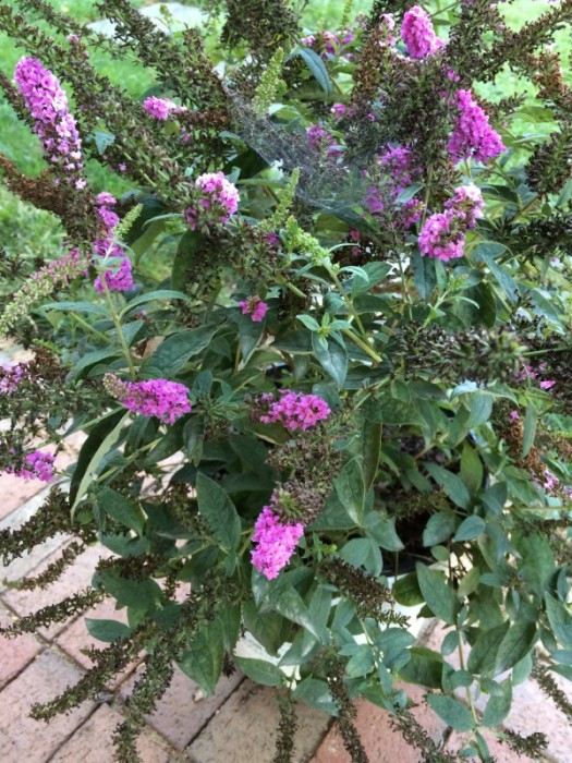 Butterfly Bush 'Pink Chip'
