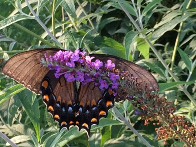 Transparent wings of a swallowtail