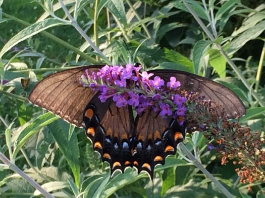 Swallowtail on bloom