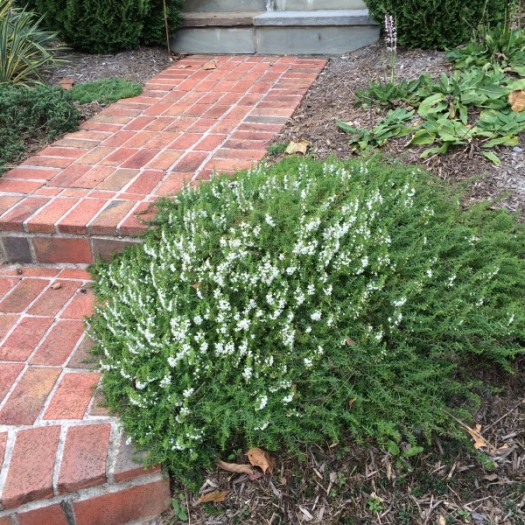 Winter Savory is great as an edger