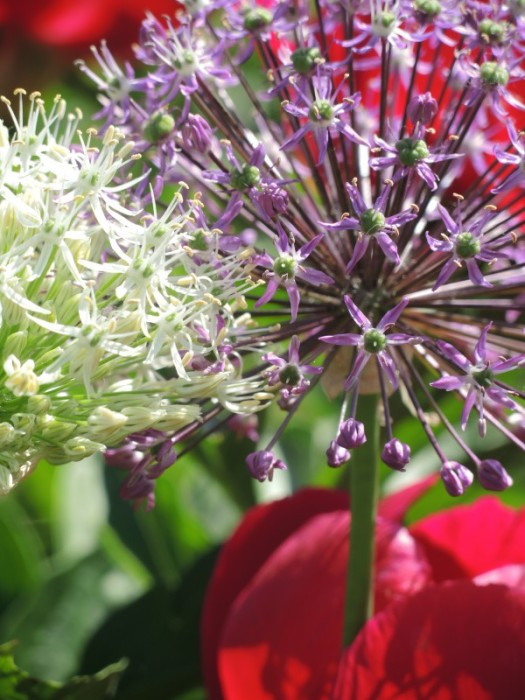 Allium Schubertii is a stunner