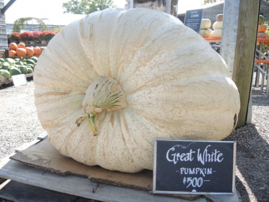 I saw this giant pumpkin, weight unknown, at Terrain for $500