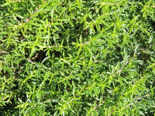 Winter Savory's foliage resembles thyme