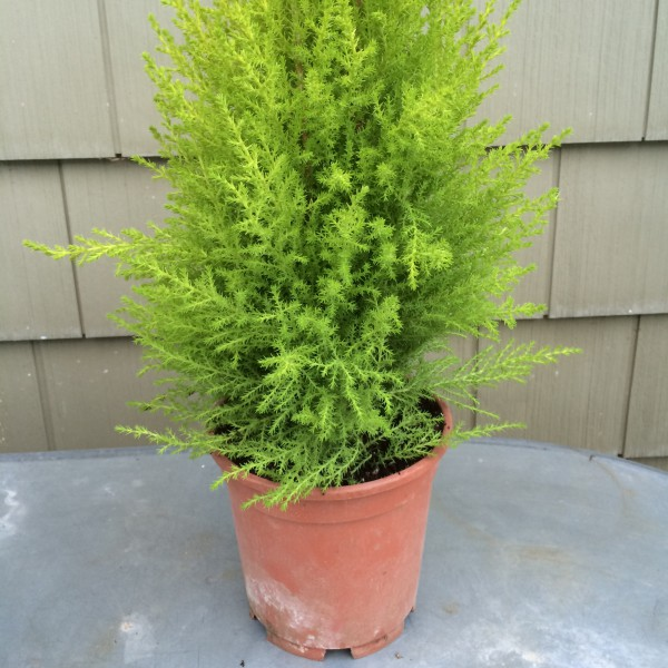 Pick up a lemon Cypress at a nursery or even a grocery store