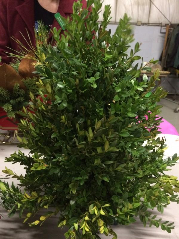 Boxwood tree before decorating